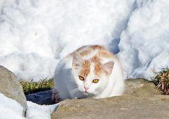 """""""Schneekatze"""""""