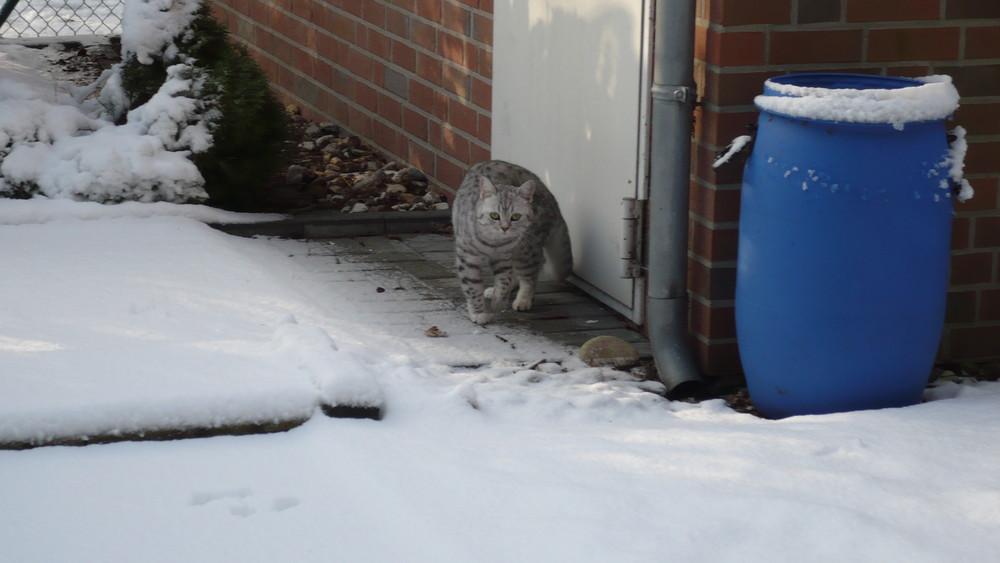 Schneekatze oder Katze im Schnee !?