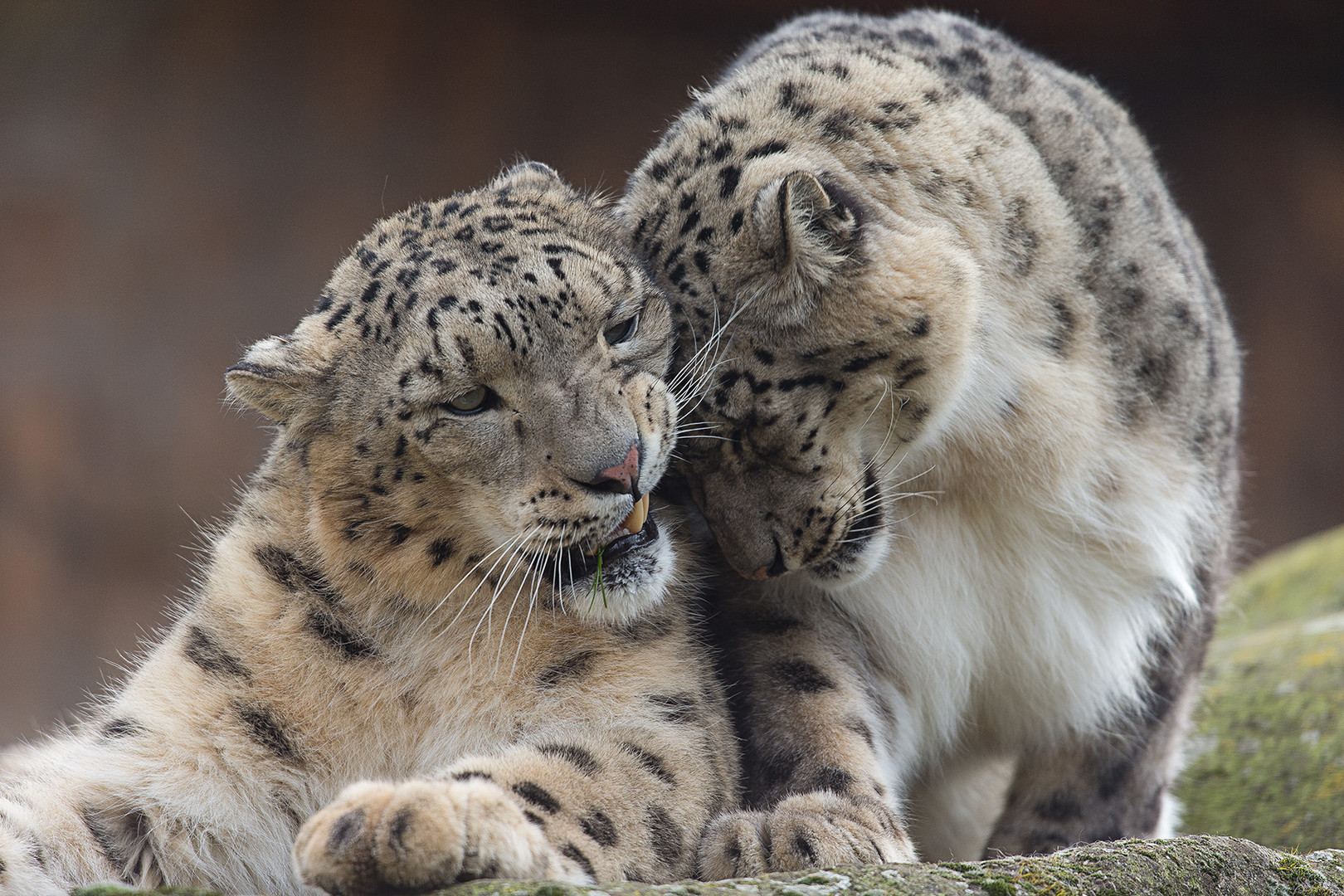 Schneeleopard-3 oder die Schmusekatzen