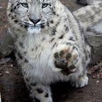 Schneeleopard - Gib 5