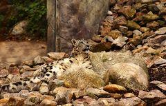 Schneeleopard im Zoo Karlsruhe