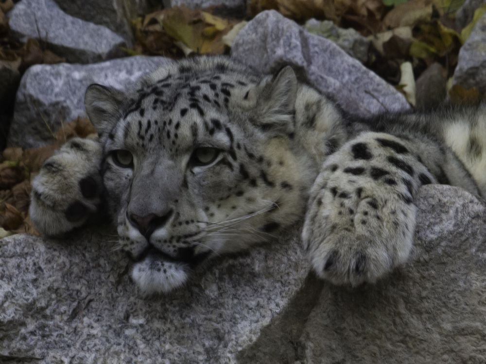 Schneeleopard / Panthera uncia