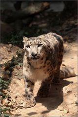 schneeleopard - snow leopard - uncia uncia