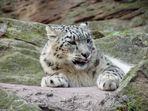 Schneeleopard Tierg.-NBG