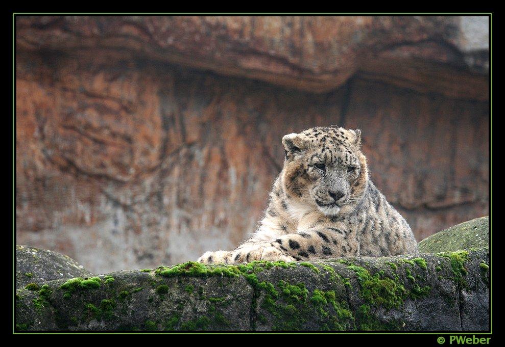 Schneeleopard, (Uncia uncia)