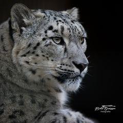 Schneeleoparden Portrait