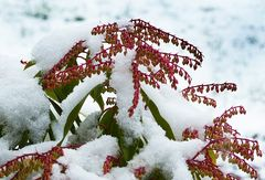 Schneemittwochsblümchen