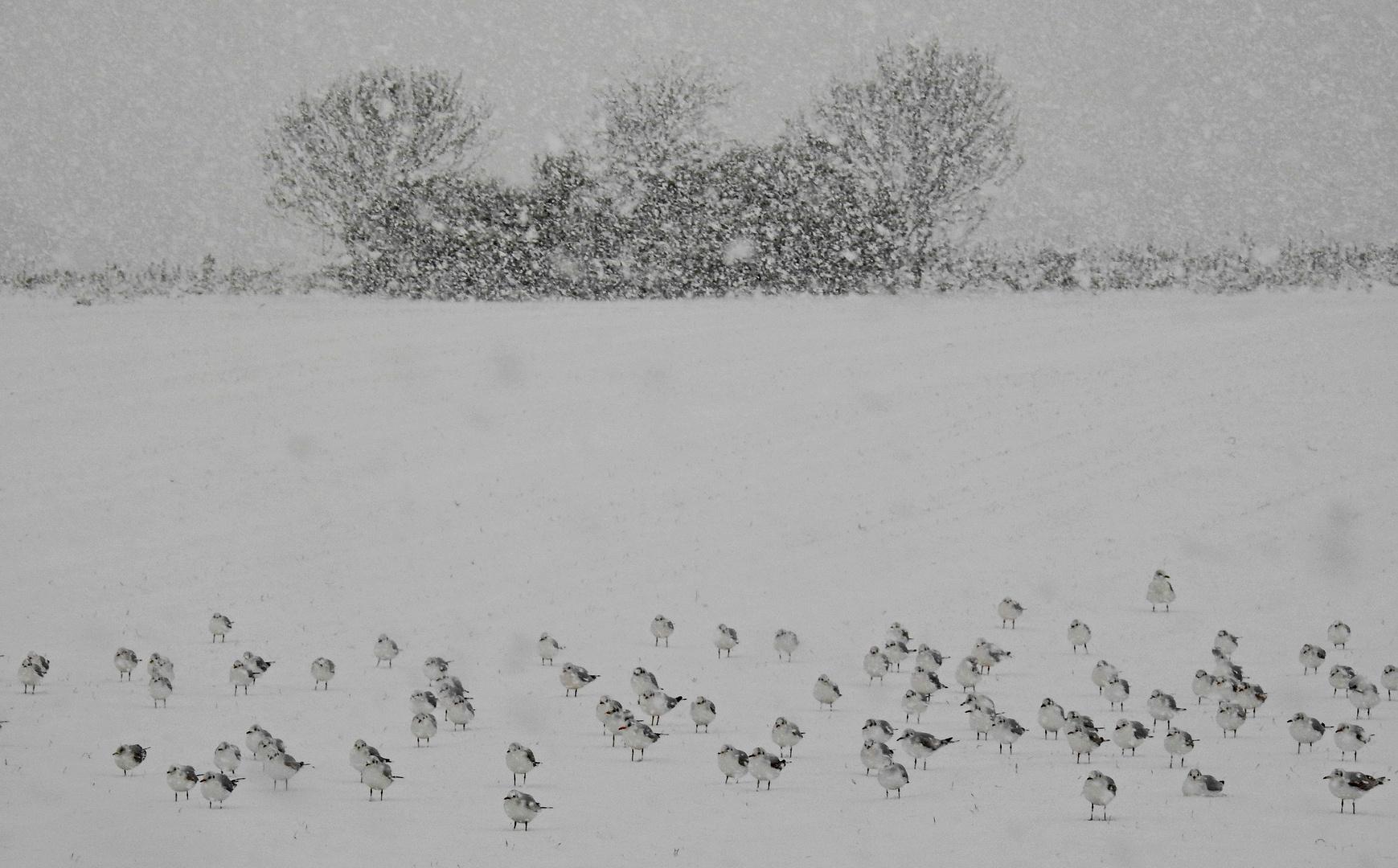 Schneemöwen