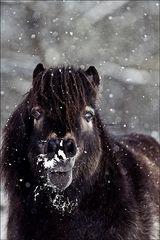 Schneepferdchen