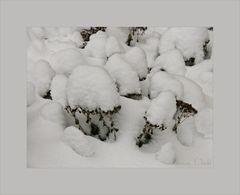 Schneepilze