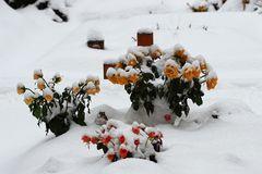 Schneeröschen
