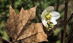 Schneerose mit Herbstblatt