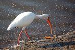 Schneesichler - White Ibis (Eudocimus albus) ...