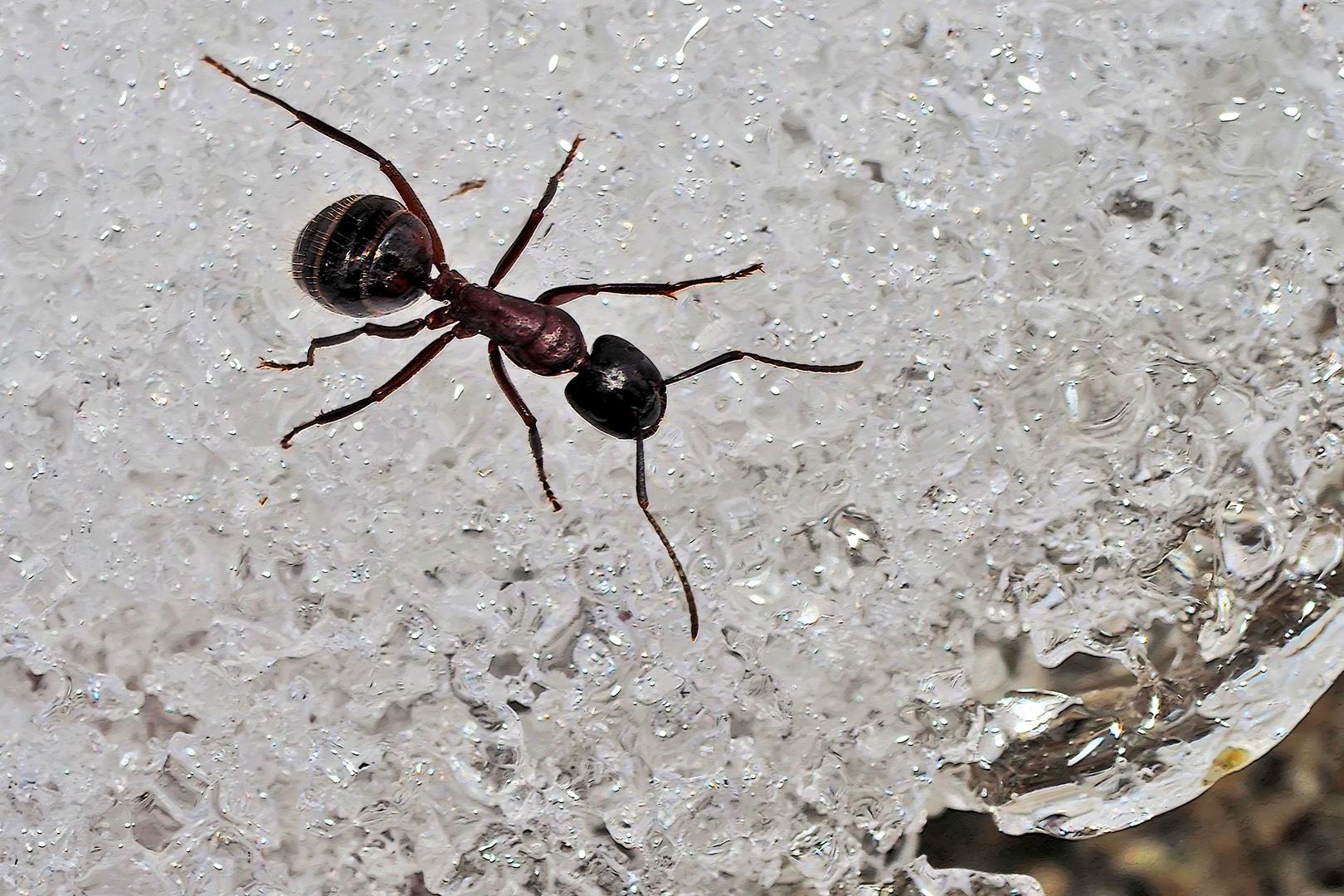 Schneespaziergang einer Ameise! - Même les fourmis semblent aimer une promenade dans la neige...
