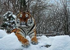 Schneetiger im Zoo Aschersleben