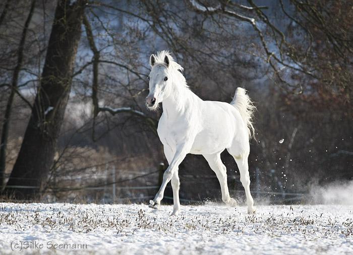 weißer schimmel pferd