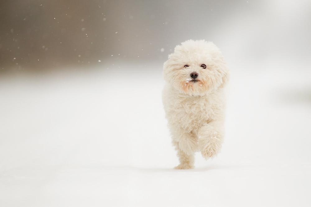 Schneeweißchen..