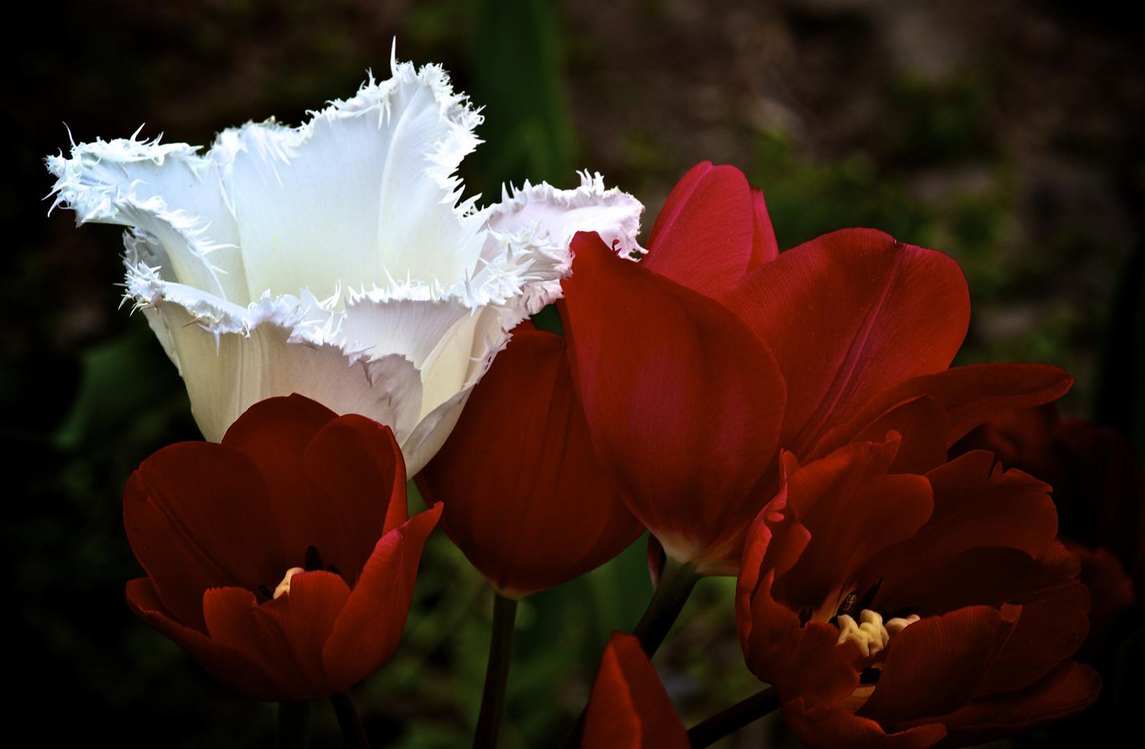 Schneeweißchen und Tulpenrot