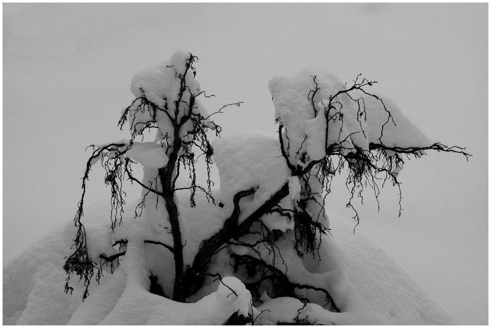 Schneewurzeln