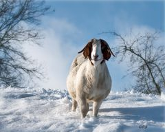 Schneeziege :-)