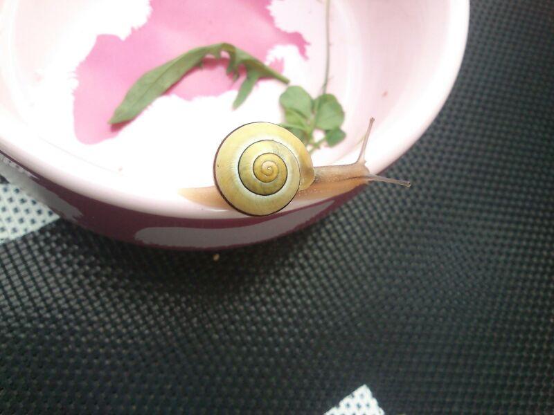 schneke lily