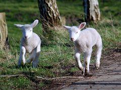 Schnell weg , die Schafskälte kommt ! Upps , das ist doch viel zu früh !