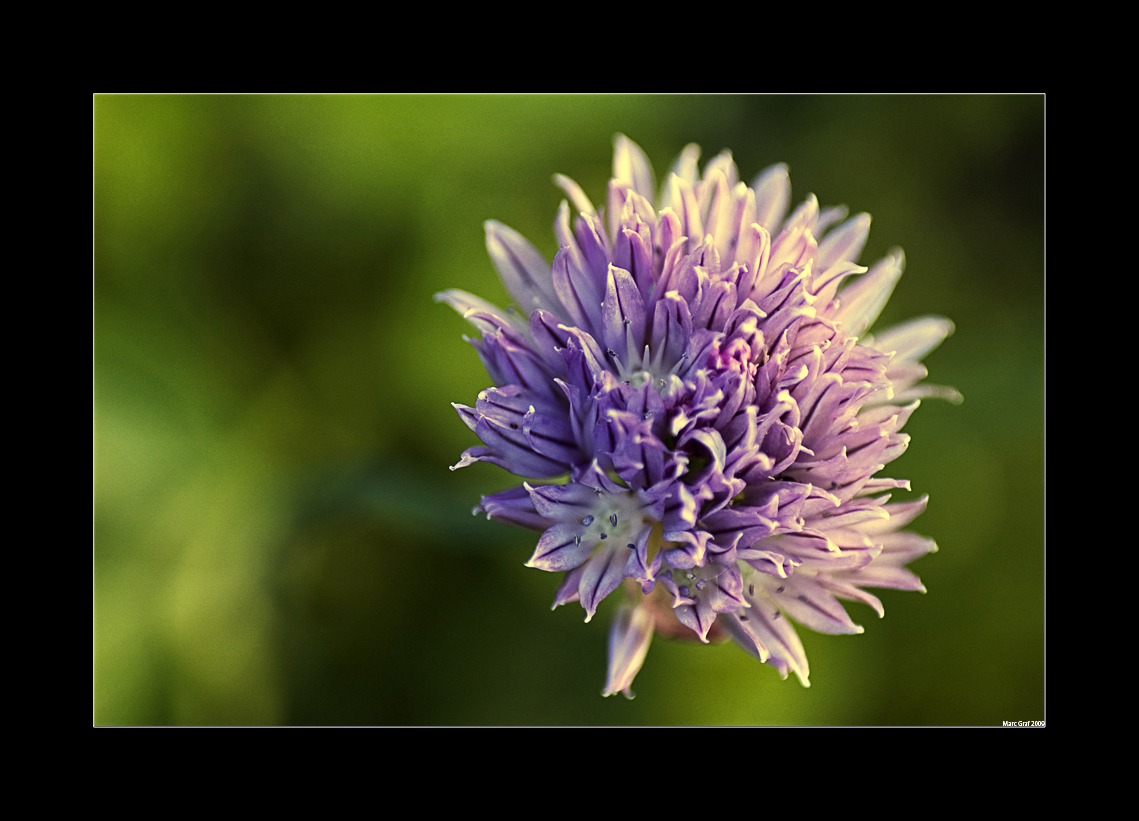 schnittlauch bl te foto bild pflanzen pilze flechten bl ten kleinpflanzen landscape. Black Bedroom Furniture Sets. Home Design Ideas
