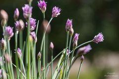 Schnittlauch in voller Blüte
