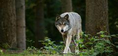 schnürender Wolf...