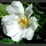 ... schön blühn die Heckenrosen . . .