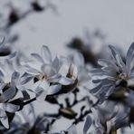 schön und leicht Magnolienblüten