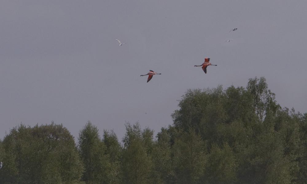 Schön wen die Flamingos Ihre runde drehen.