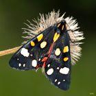 Schönbär (Calimorpha-dominula)