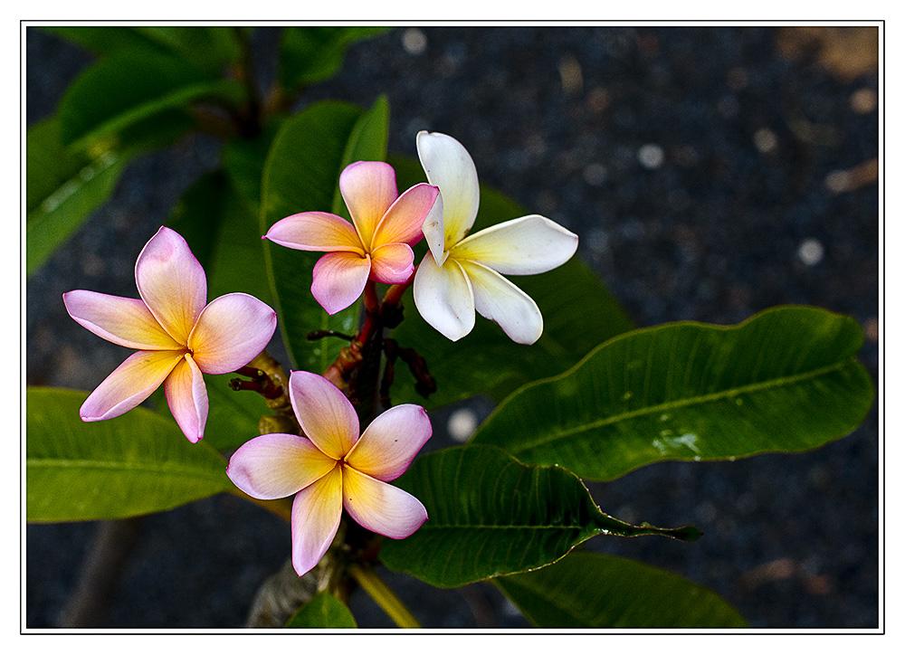 Schöne Blüten auf Lavagrund