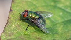 Schöne Fliege