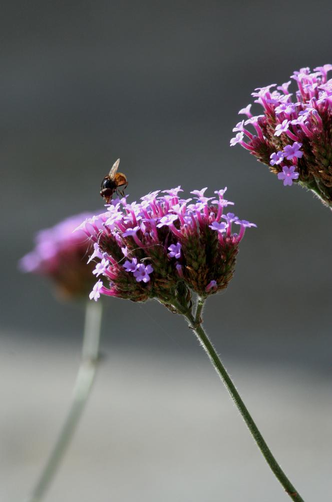 schöne Gartenpflanze mit Insekt