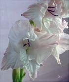 schöne Gladiolen fangen an zu welcken....