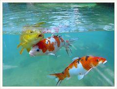 Schöne  goldene  Koi  Karpfen Fische im Wasser