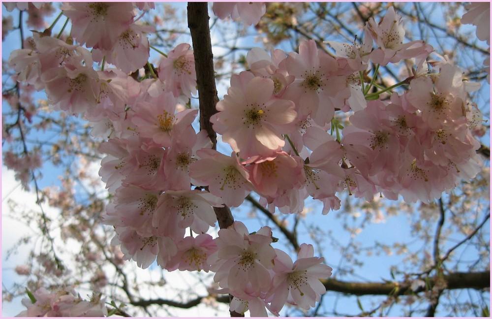 Schöne in Pracht und Blüte...