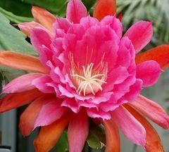 Schöne Kakteenblüten