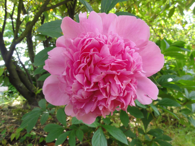 """""""Schöne rosa Rose"""""""