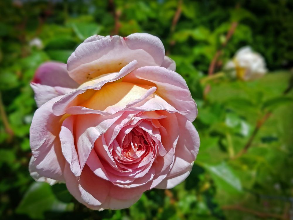 Schöne Rose im Rosengarten von Eisental