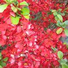 schöne rote Buschblume