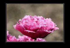 schöne Tulpe