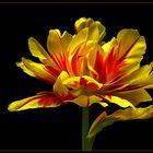 Schöne Tulpen und der Frühling gehören einfach zusammen
