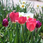 Schöne Tulpenzeit