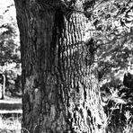schöner alter Baum , viele Narben sind  in Deiner Rinde