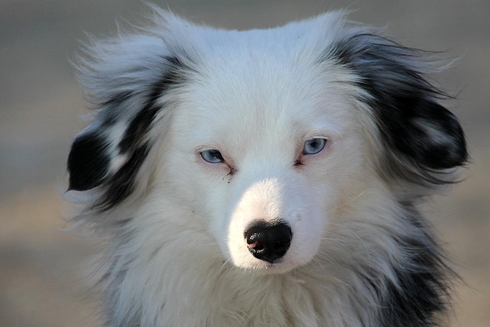 Schoener Hund mit blauen Augen