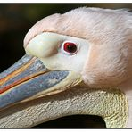 Schöner Pelikan