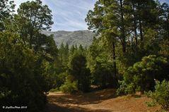 Schöner Wald am Wanderpfad Aguamansa Teneriffa